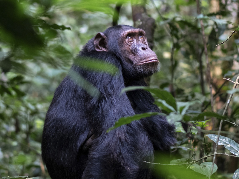 Chimpanzee by Omer Faragi Kibale National Park in Uganda